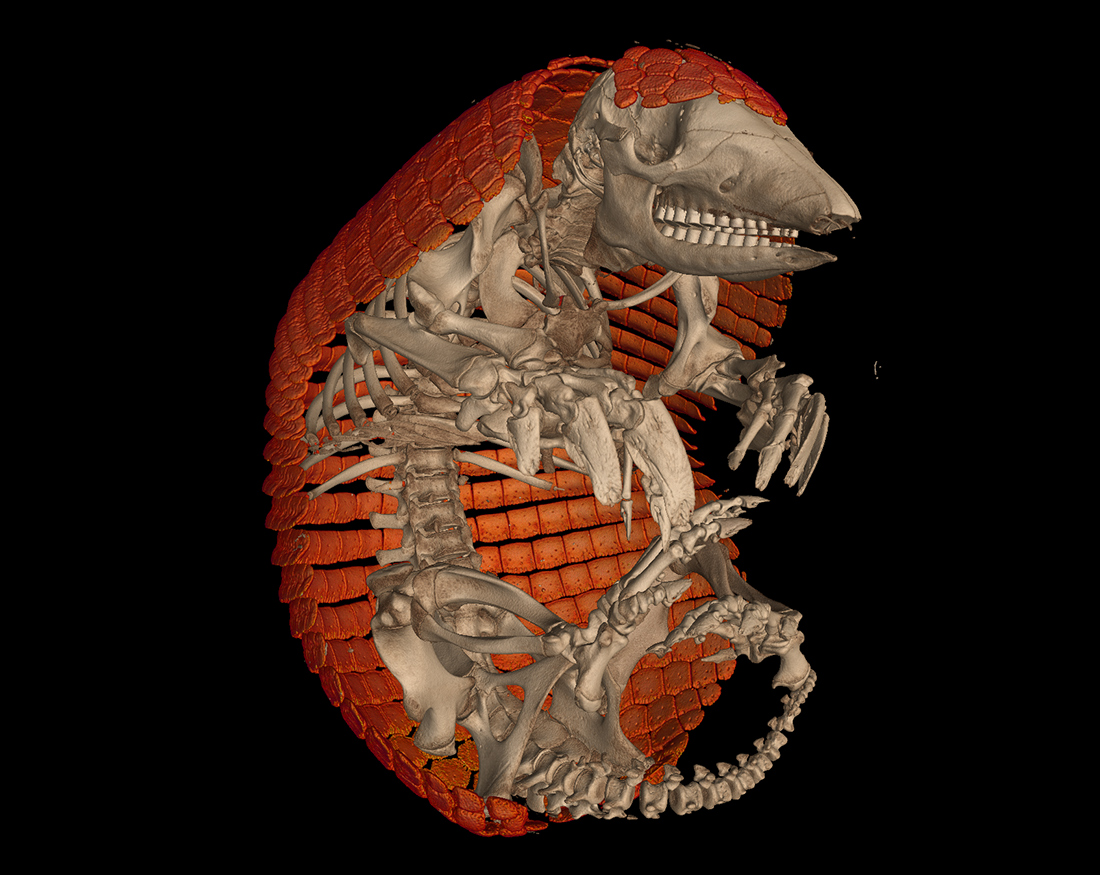 CT scan of Chacoan naked-tailed armadillo