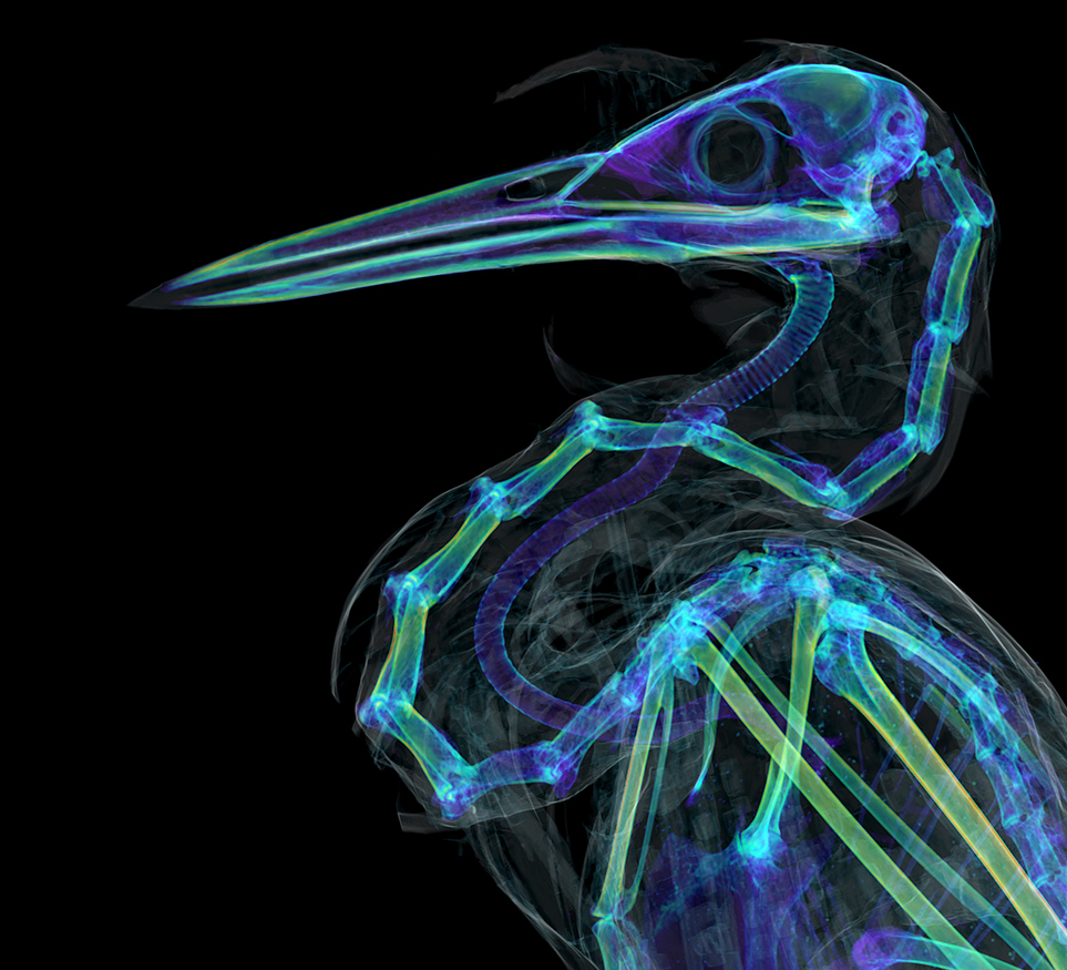CT scan of a Green heron's head and neck