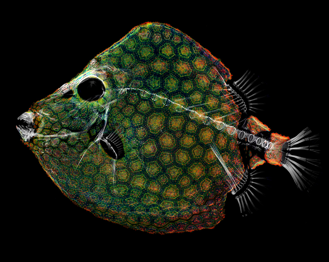 CT scan of a White-barred boxfish