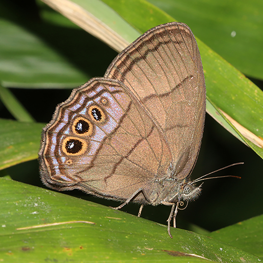 New South American butterfly species named for Andy Warren