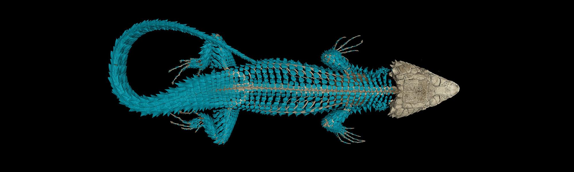 CT scan of Van Dam's girdled lizard