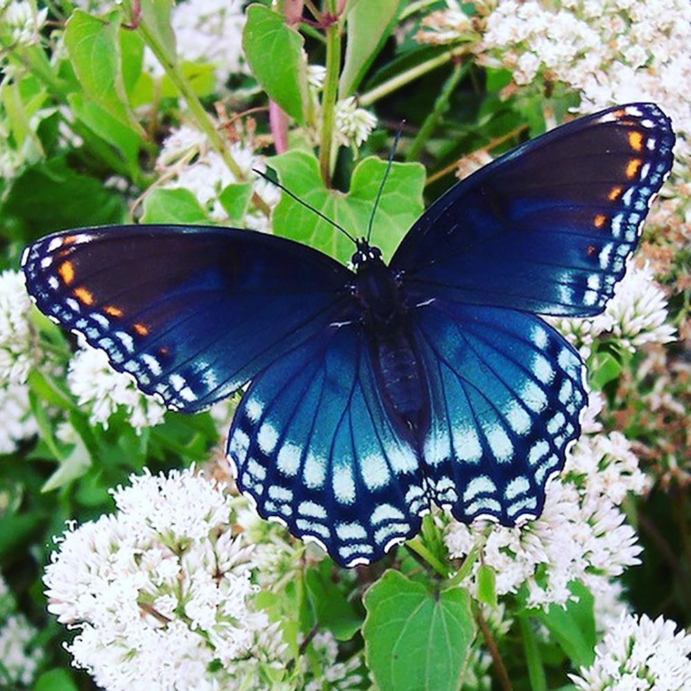 Butterflies' 'secret' to keeping cool hidden in wings