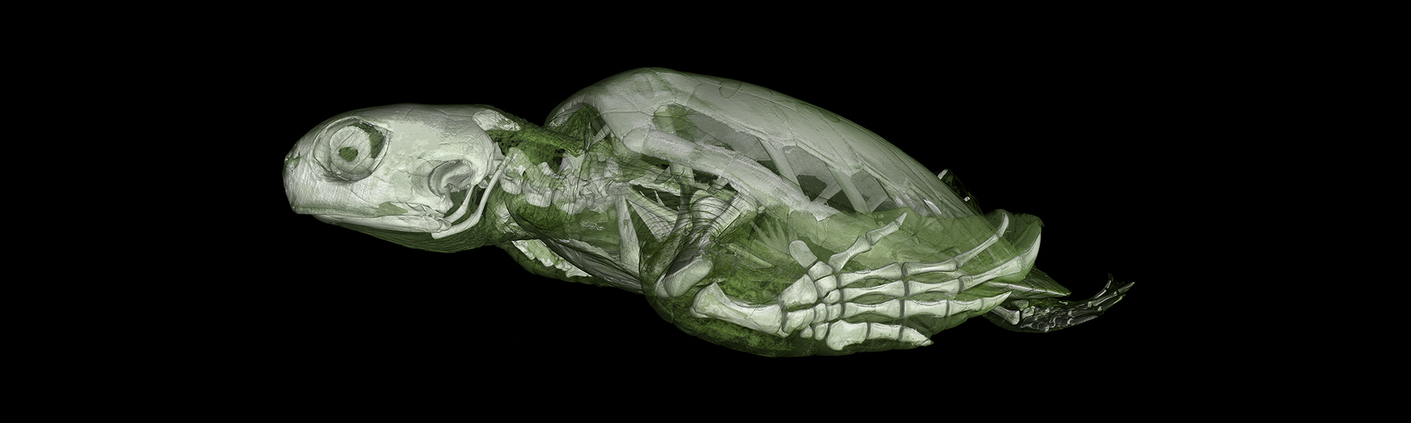 CT scan of a green sea turtle