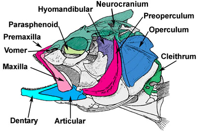 Fish Skull Diagram - Find Wiring Diagram •