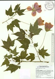Preparation of plant specimens for deposit as herbarium vouchers ccuart Image collections