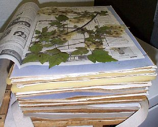 Preparation of plant specimens for deposit as herbarium vouchers samples that are allowed to wilt prior to pressing will generally produce inferior specimens plants ccuart Image collections