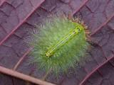 Isa diana moth larva