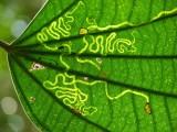 Leaf-miner damage in leaf