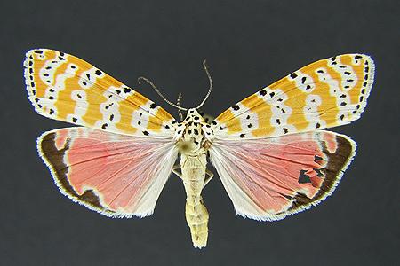 Eutetheisa bella, a Florida day-flying moth