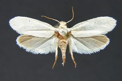 Heppner moth
