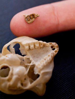 lemur-skull-jaw-2