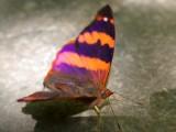 Epiphile boliviana, Reserva Arcoiris, Ecuador