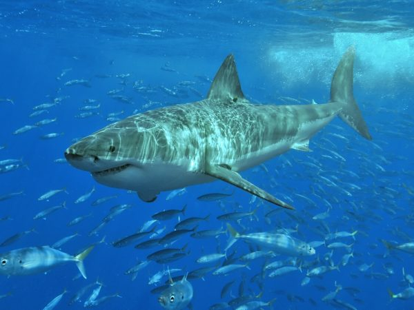 WHite SHark with minnows