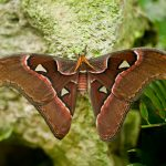 atlas moth, header