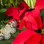 Butterfly on poinsettia, header