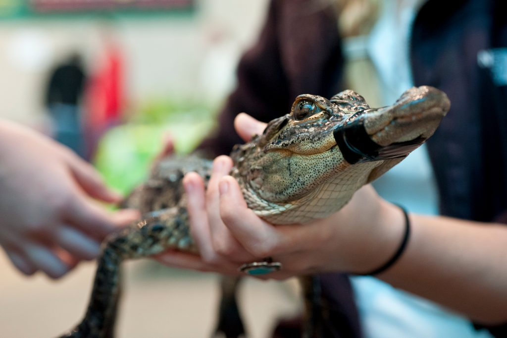 Holding alligator