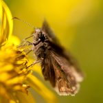 moth, yellow flower, header