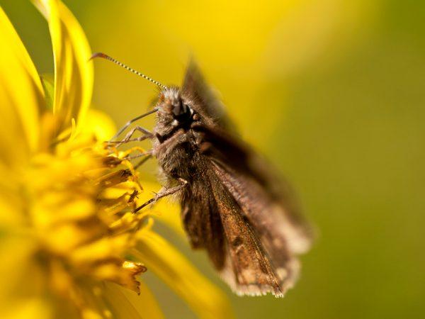 moth, yellow flower, header