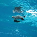 baby sea turtle swimming