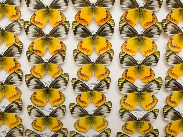 yellow butterflies, half header