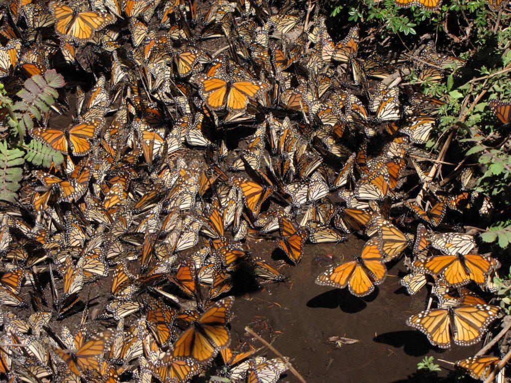 Monarchs migration