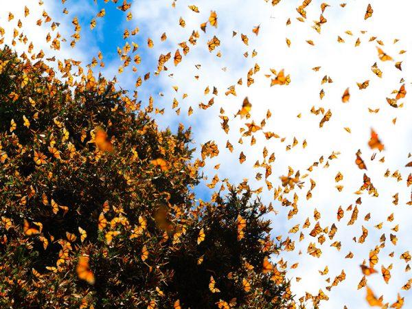 Monarchs migration header