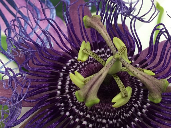 close-up image of a passionflower