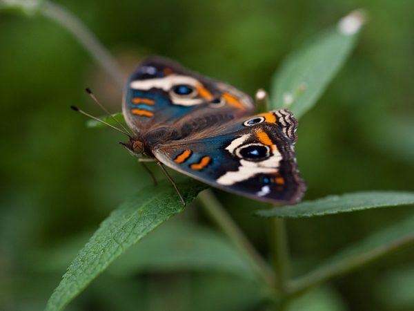blue tinted buckeye