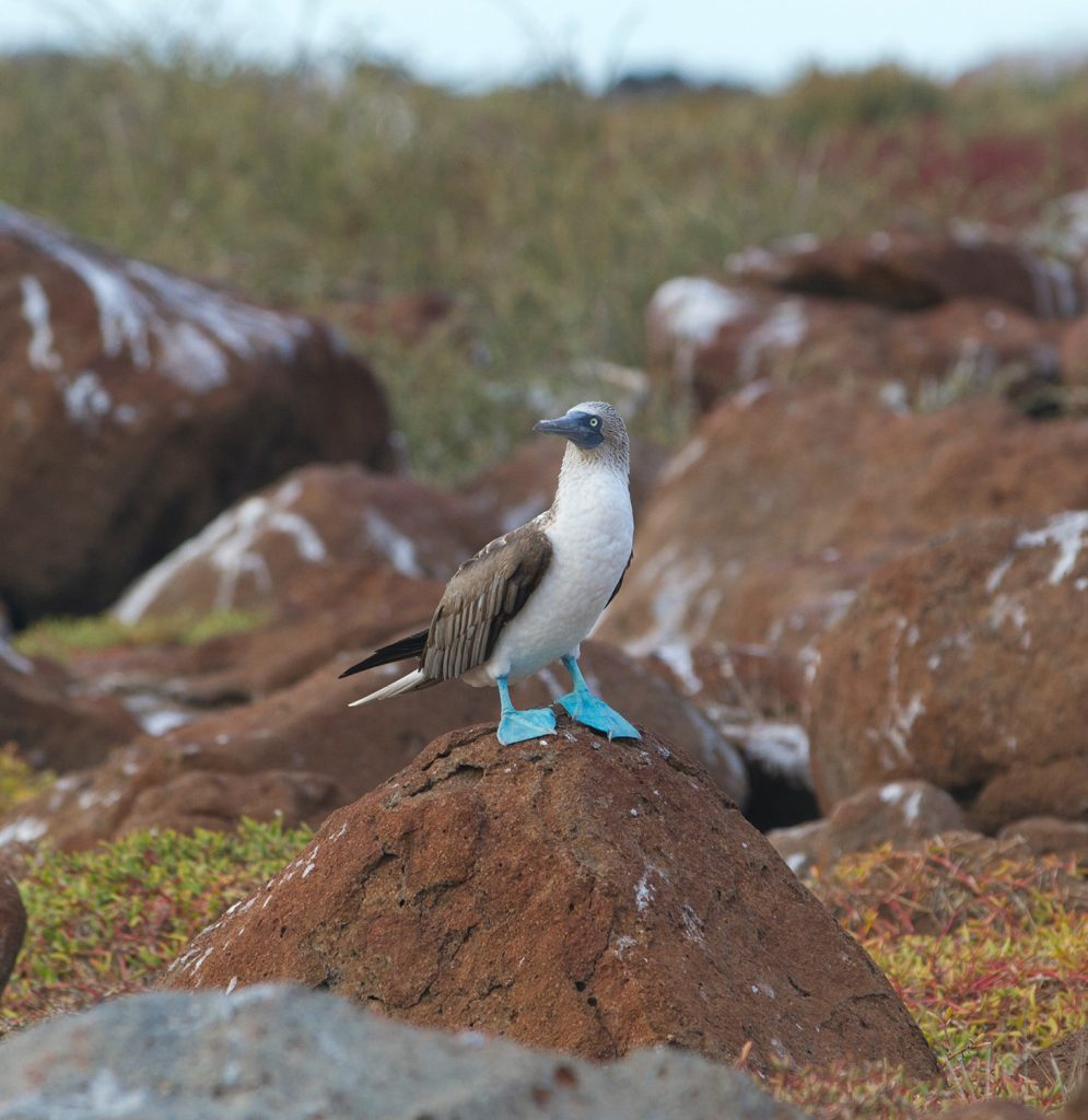 Galapagos, Blue-footed booby