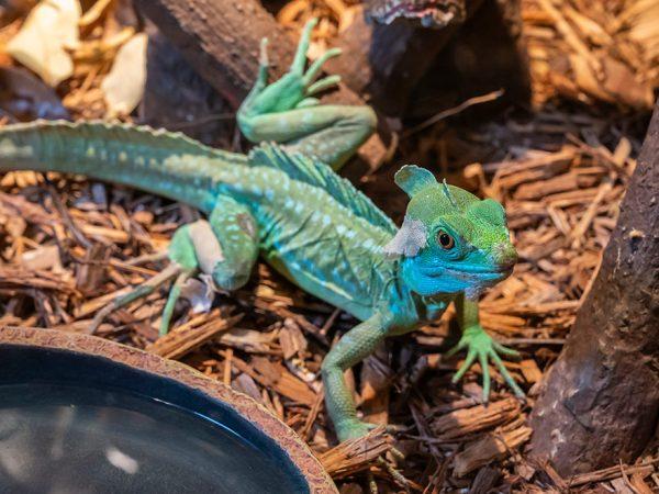 slender green lizard in a museum habitat