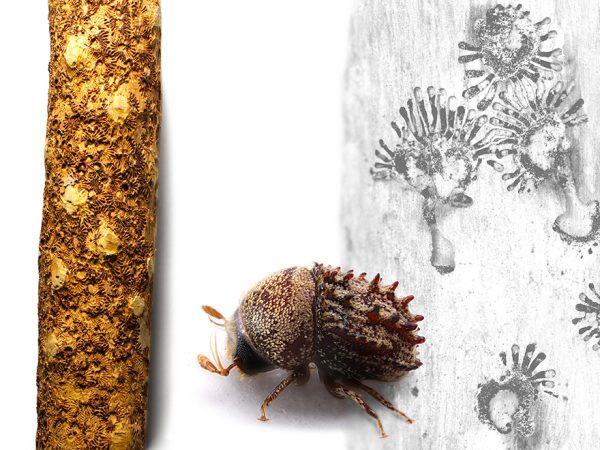 Styracoptinus beetle
