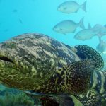 Goliath Grouper, half header. Photo by NOAA/FKNMS