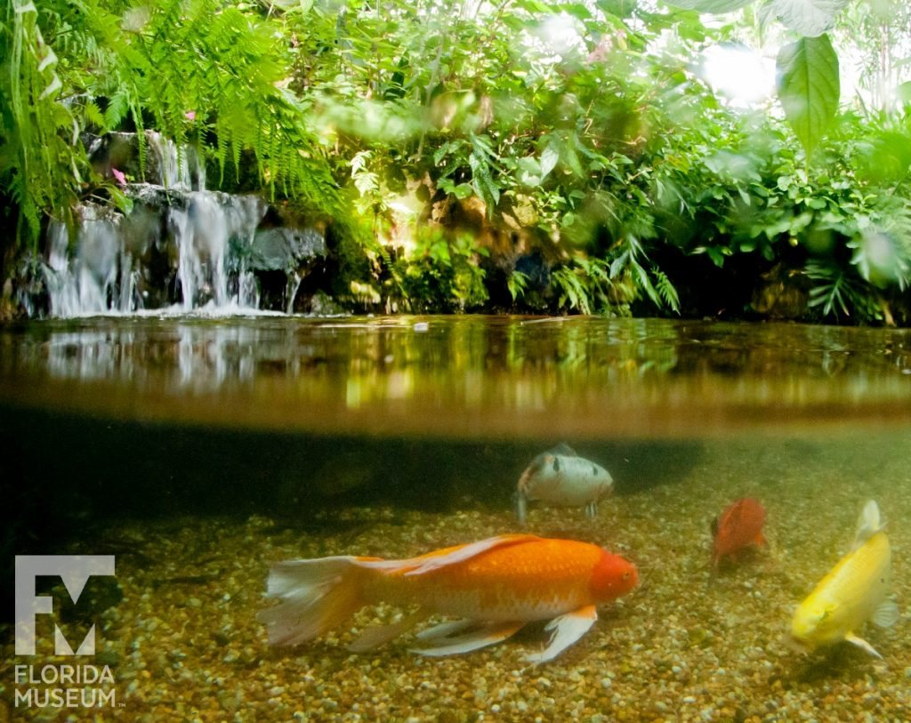 Koi fish of the Butterfly Rainforest