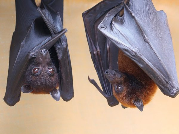 Bat Photo Courtesy of Lubee Bat Conservancy