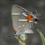 Bartram's scrub hairstreak, half header