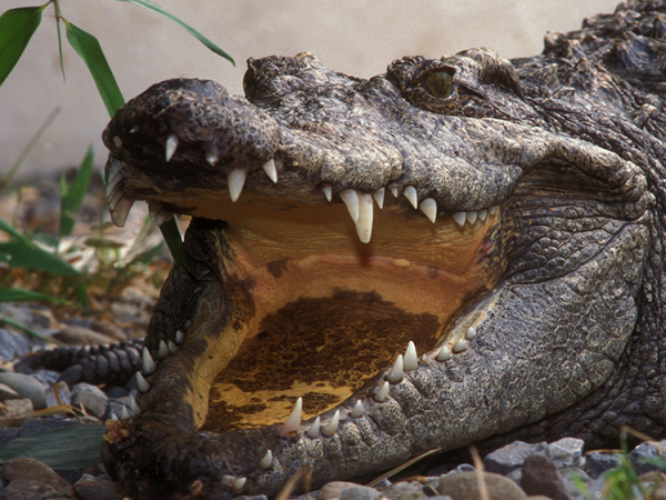 siamese crocodile with mouth open