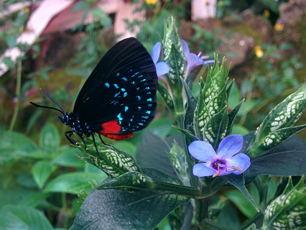 atala butterfly on a plant