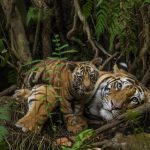 tiger mother and cub in forest