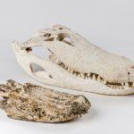 Alligator skulls