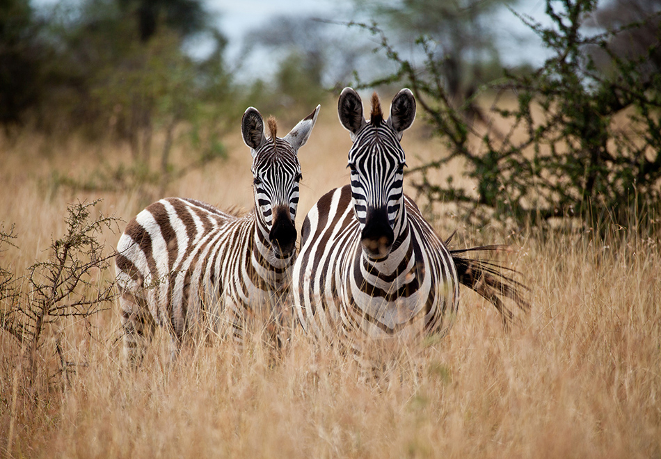 A pair of zebras in the tall grasses of the Serengeti. Tanzania