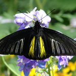 Golden Birdwing Butterfly