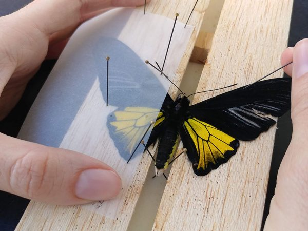Butterfly Pinning
