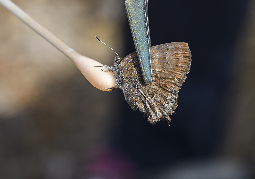 butterfly being swabbed by cotton swab