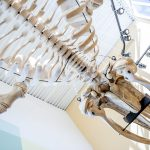 humpback whale skeleton