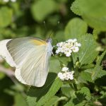 Florida White Butterfly