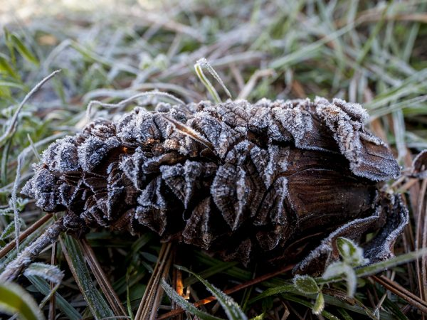 pinecone with frost