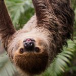 sloth hanging from tree