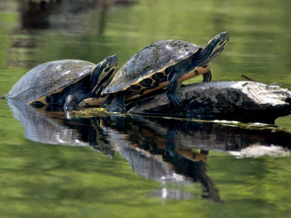 Santa Fe River Turtles