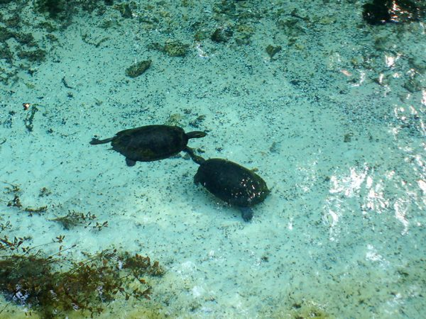 two turtles swimming beneath crystal clear water