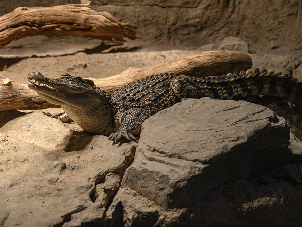 crocodile in enclosure
